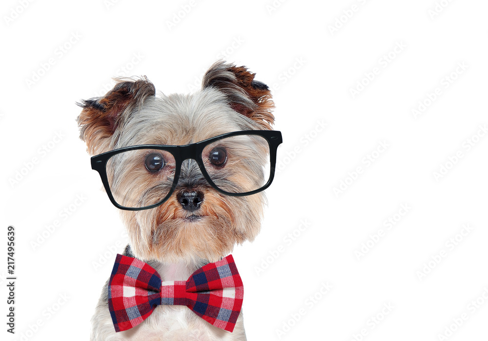 Closeup portrait of a dog wearing glasses and bow tie
