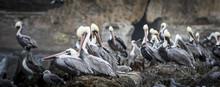Flock Of Grey Pelicans Resting...