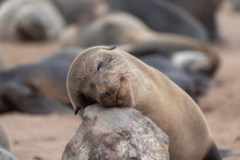 Happy Sleeping Seal On Rock