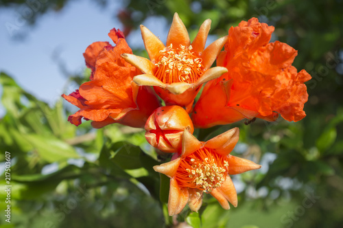 Pomegranate tree in blossom or Punica granatum flowers