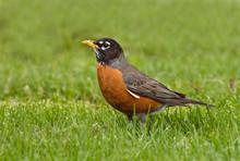 American Robin In Spring Grass