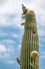 Saguaro Cactus With Birds N Th...