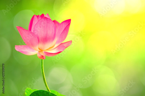 Foto op Aluminium Lotusbloem Royalty high quality free stock image of a pink lotus flower. The background is the lotus leaf and pink lotus flower and lotus bud in a pond