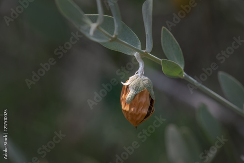 Valokuva  Jojoba bean Ripe with Husk on Plant