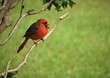 A male red cardinal bird is perching on the branch of the tree on the garden background , summer in Ga USA.