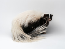 Striped Skunk - Mephitis Mephi...