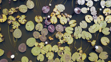 Lily Pads In Leichhardt Lagoon ,queensland, Australia
