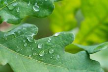 Water Drops On Oak Leaf  Macro