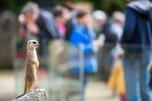 Meerkat Suricate Sitting On Ro...