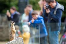 Meerkat Suricate Sitting On Rock In The Zoo