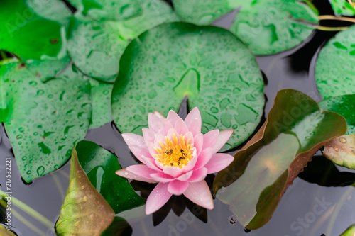 Staande foto Lotusbloem beautiful lotus flower with bee on the water after rain in garden.
