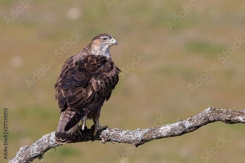 Fotografie, Obraz  Bonelli's eagle (Aquila fasciata), Andalusia, Spain