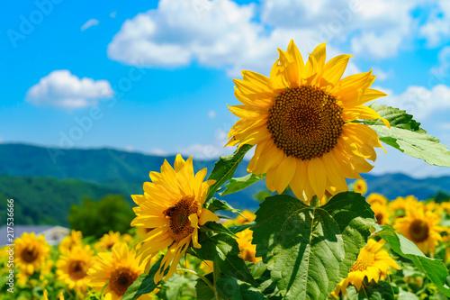 In de dag Zonnebloem 花物語:故郷の夏休み風景