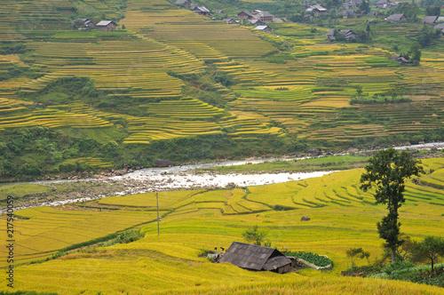 Spoed Foto op Canvas Khaki Landscape of golden rice terraced field in harvest season at Sapa in vietnam