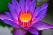 Dieses tolle Bild zeigt eine aufgeblühte lila Lotus blüte. Das bild wurde auf den Malediven aufgenommen.