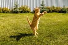 Ginger Cat Jumps, On A Green G...