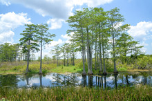 Beautiful Day In Florida Cypress Swamp