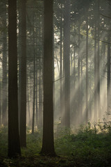 Light rays in forest during sunrise