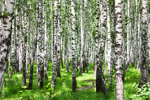 summer landscape with birches in forest
