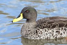Yellow Billed Duck (Anas Undulata) Swimming In The Water