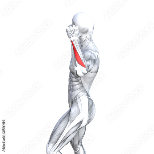 Fototapety, obrazy: Concept conceptual 3D illustration chest fit strong human anatomy or anatomical and gym muscle isolated, white background for body health with tendons, abs, biological, fitness medical muscular system