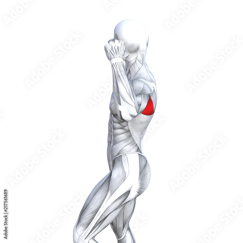 Fototapety, obrazy: Concept conceptual 3D illustration back fit strong human anatomy or anatomical and gym muscle isolated, white background for body health with biological tendons, spine, fitness medical muscular system
