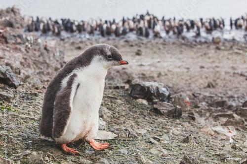 gentoo penguin chic in Antarctica, cute baby animal, birds of South Shetland Islands
