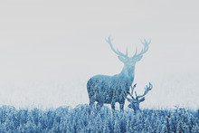 Double Exposure Of Two Deers In Winter Forest, Beautiful Nature Landscape, Wilderness In National Park