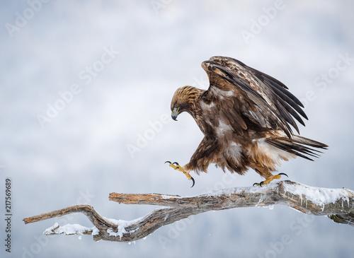 In de dag Eagle Golden eagle walking on pine branch