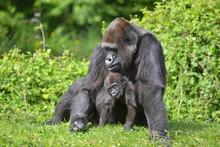 Mère Gorille Et Son Petit
