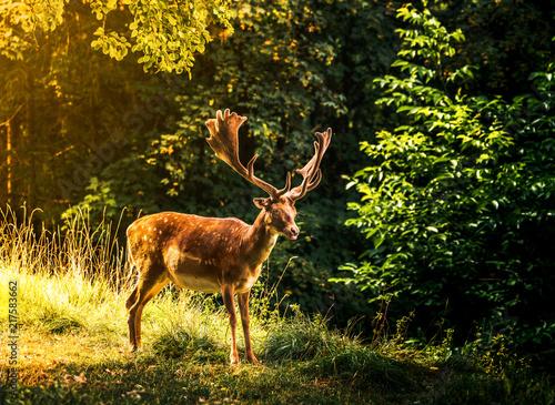 Fototapeta Deer obraz