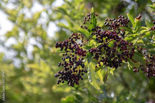 Close up of ripe elder berries in summer