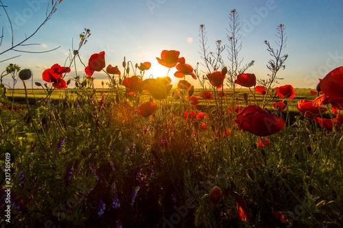 Fototapeta Poppy meadow in the beautiful light of the evening sun obraz na płótnie