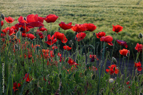Spoed Foto op Canvas Weide, Moeras Poppy meadow in the beautiful light of the evening sun