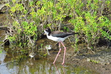 Endangered Hawaiian Stilt (Himantopus Mexicanus Knudsen) With Bird Youngs. It Is A Long-legged, Black And White Bird With A Long, Thin Beak That Likes The Water. Kealia Coastal Boardwalk, Maui, Hawaii
