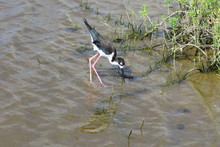 The Endangered Hawaiian Stilt (Himantopus Mexicanus Knudsen) Is A Long-legged, Black And White Bird With A Long, Thin Beak That Likes The Water. Kealia Coastal Boardwalk, Maui, Hawaii