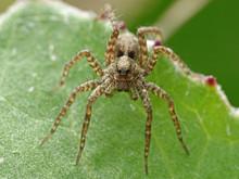 Wolf Spider (Pardosa)