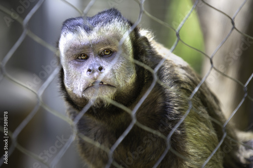 Capuchin Poster