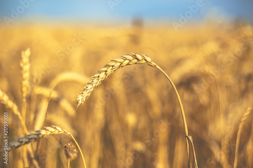 Fototapety, obrazy: Wheat on the field. Plant, nature, rye