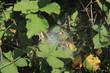 Spinnennetz in einer Brombeerhecke mit verdtrockneten Blättern