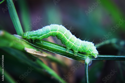 Green caterpillar or green worm on a branch with an ant