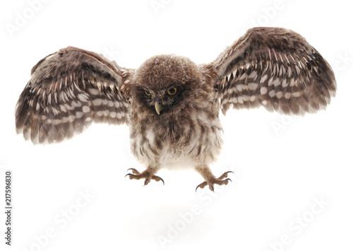 Little wild owl.