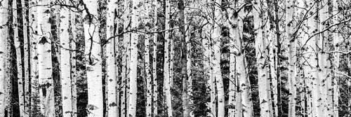 Fotografie, Obraz  Birch Tree Forest