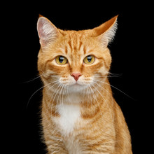 Funny Portrait Of Ginger Cat Gazing With Clumsy Ear On Isolated Black Background