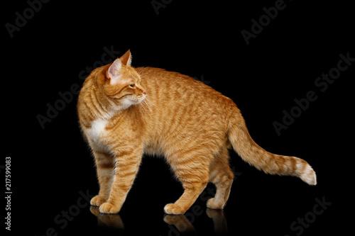 Obraz na plátně Adorable Ginger Cat Standing and looking back on Isolated Black background, side