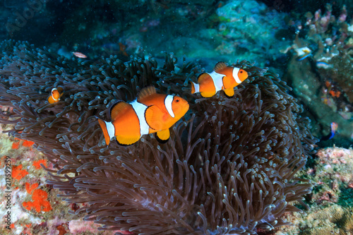 Fotografie, Obraz A family or colorful False Clownfish on a tropical coral reef in Myanmar