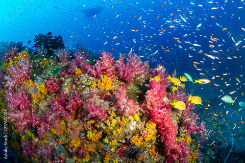 Foto op Plexiglas Koraalriffen A beautiful, colorful tropical coral reef with background swimming Oceanic Manta Ray.