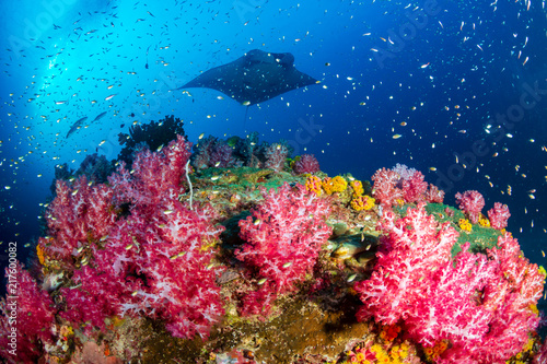 Photo A background Oceanic Manta Ray swimming next to a vividly colored tropical coral