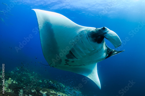Carta da parati A beautiful Oceanic Manta Ray swimming in the ocean next to a tropical coral ree