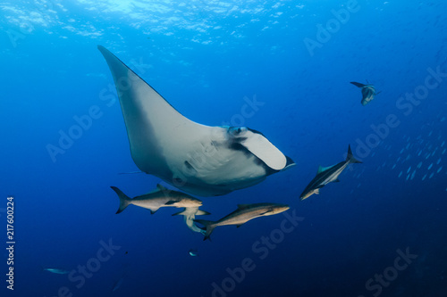 Photo A huge majestic Oceanic Manta Ray swimming in a clear blue tropical ocean